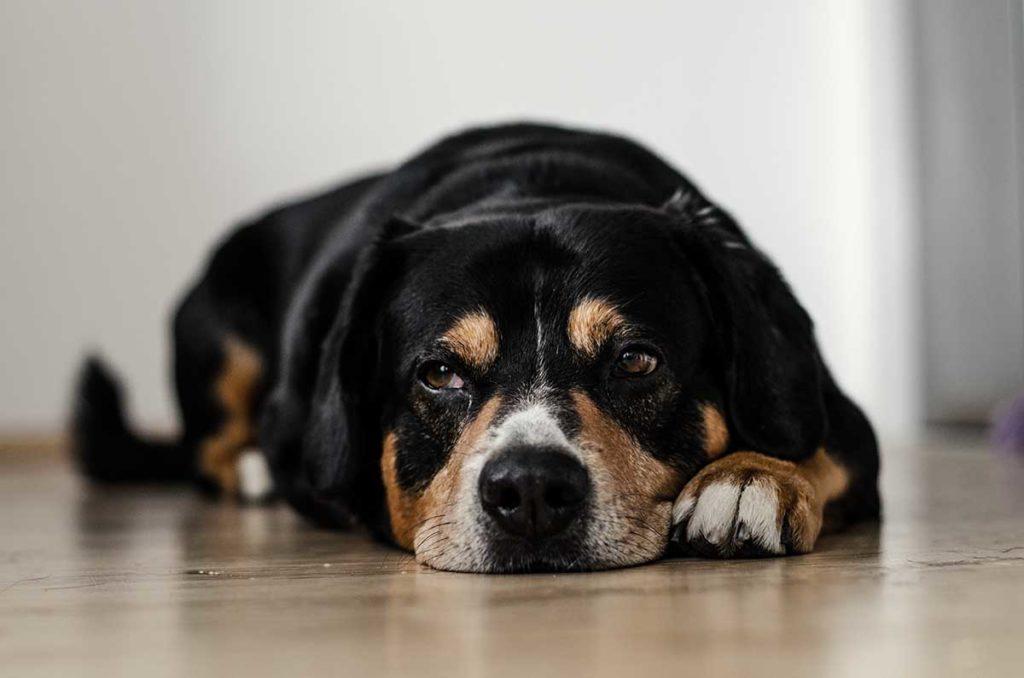sindrome cushing perros