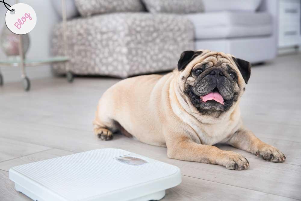 Combatir la obesidad en perros